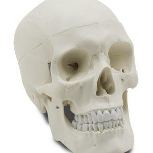 GD0102 Cráneo humano